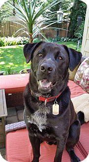 Labrador Retriever Mix Dog for adoption in Sagaponack, New York - Rocco