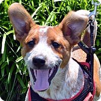 Adopt A Pet :: Rookie-Adoption pending - Bridgeton, MO