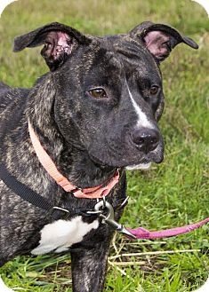 Pit Bull Terrier Mix Dog for adoption in Bellingham, Washington - Jewels