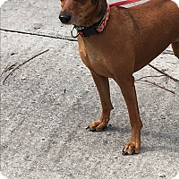 Adopt A Pet :: Chilli - Cutler Bay, FL