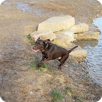 Labrador Retriever Dog for adoption in Denton, Texas - Yukon