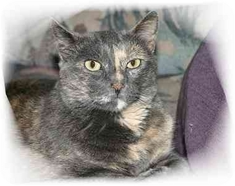 Domestic Shorthair Cat for adoption in Montgomery, Illinois - Kiki