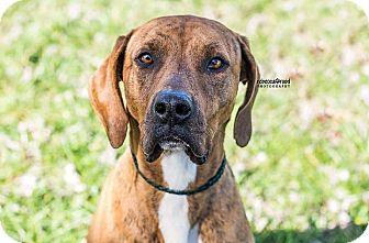 Plott Hound Mix Dog for adoption in Lawrenceville, Georgia - Bella