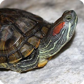 Turtle - Other for adoption in Ellicott City, Maryland - 23992 & 23993 - Chuck and Queenie