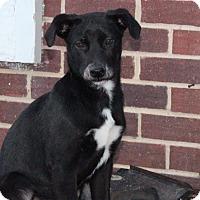 Adopt A Pet :: Scarlett - Millersville, MD
