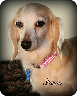 Dachshund Dog for adoption in Omaha, Nebraska - Irene-pending adoption