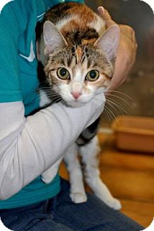 Domestic Shorthair Cat for adoption in Northbrook, Illinois - Sandie
