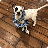 Adopt A Pet :: Domino - Manhattan, IL