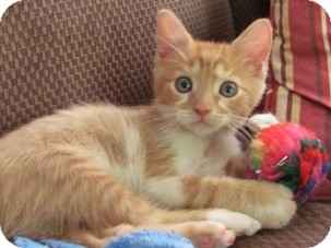 Domestic Shorthair Kitten for adoption in Diamond Bar, California - CHEERIO