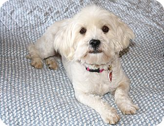 Lhasa Apso/Poodle (Miniature) Mix Dog for adoption in Bellflower, California - Mary-I do not shed!