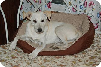 Labrador Retriever/Terrier (Unknown Type, Medium) Mix Dog for adoption in Hazard, Kentucky - Cindi