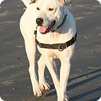 Adopt A Pet :: Luna - Houston, TX