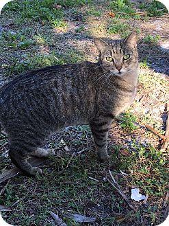 Domestic Mediumhair Cat for adoption in Naples, Florida - Huxley