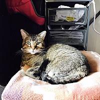 Adopt A Pet :: Duchess - Chicago, IL