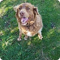 Adopt A Pet :: Bear Bear - Capon Bridge, WV