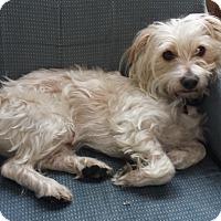 Adopt A Pet :: Jodi - Studio City, CA