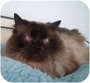 Siamese Cat for adoption in Anchorage, Alaska - Geisha