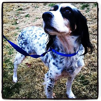 English Setter Dog for adoption in Parker, Colorado - Megan