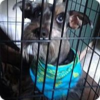 Adopt A Pet :: Benjamin - NON SHED! - Phoenix, AZ