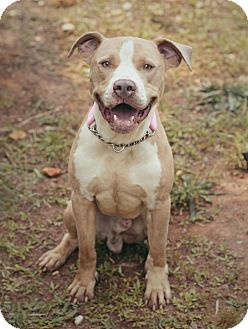 Pit Bull Terrier Mix Dog for adoption in Marietta, Georgia - Scooter