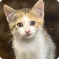 Adopt A Pet :: Ginger - Reston, VA