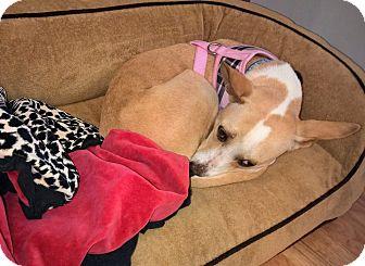 Corgi Mix Dog for adoption in Chicago, Illinois - Princess
