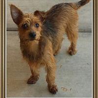 Adopt A Pet :: Vincent - Phoenix, AZ