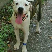 Boxer/American Bulldog Mix Dog for adoption in Houston, Texas - Apollo