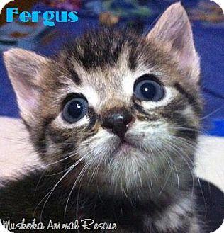Domestic Shorthair Kitten for adoption in Huntsville, Ontario - Fergus - Adopted December 2016