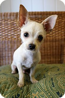 Chihuahua Mix Puppy for adoption in Southington, Connecticut - Eli