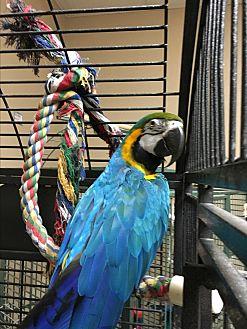 Macaw for adoption in Punta Gorda, Florida - Sweetheart