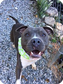 Pit Bull Terrier Mix Dog for adoption in Greensboro, North Carolina - Julian