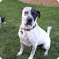 Adopt A Pet :: Jesse - Courtesy Listing - Westminster, CO