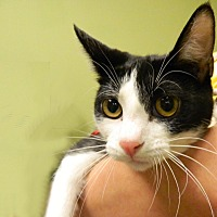 Adopt A Pet :: My Sharrona - The Colony, TX