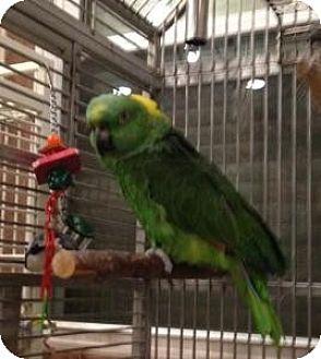 Amazon for adoption in Northbrook, Illinois - Gittle