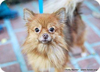 Pomeranian Dog for adoption in Baton Rouge, Louisiana - Queeny