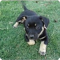 Adopt A Pet :: Alice - Arlington, TX