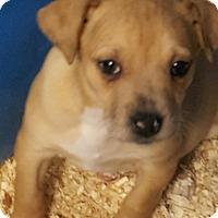Adopt A Pet :: GRACE LITTER TAN - Pompton Lakes, NJ