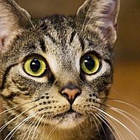 Manx Cat for adoption in Durham, North Carolina - Pumbaa