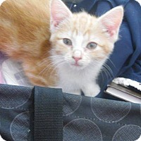 Domestic Shorthair Kitten for adoption in New Richmond,, Wisconsin - Baby Oranges