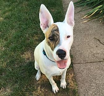 German Shepherd Dog/Bull Terrier Mix Dog for adoption in Springfield, Oregon - Paloma