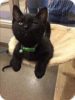 Domestic Shorthair Kitten for adoption in Council Bluffs, Iowa - Charlie Brown