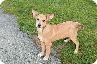 Labrador Retriever/Fox Terrier (Smooth) Mix Puppy for adoption in CHESTERFIELD, Michigan - Bambi