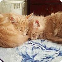 Adopt A Pet :: Ryu - Gaithersburg, MD