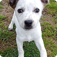 Adopt A Pet :: Ashley - Terrell, TX