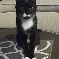 Domestic Longhair Cat for adoption in Fort Lauderdale, Florida - Manda