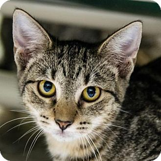 Domestic Shorthair Cat for adoption in St. Petersburg, Florida - Jennifer