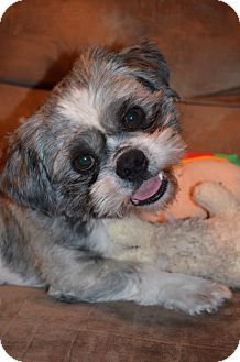 Shih Tzu Dog for adoption in Hagerstown, Maryland - Monroe