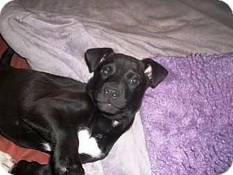 Terrier (Unknown Type, Small) Mix Puppy for adoption in Groton, Massachusetts - Freda