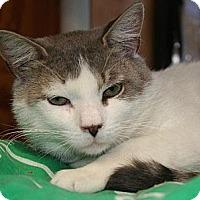 Domestic Shorthair Cat for adoption in Pendleton, New York - Sheldon